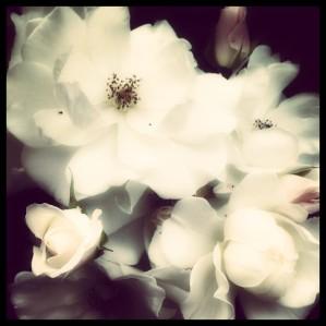 My mom's white roses!